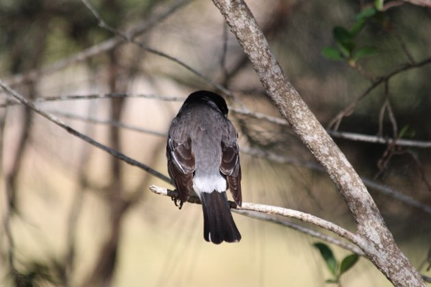 rear end butcherbird