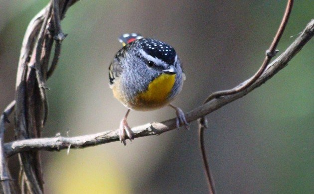 What Exactly is a Pardalote?