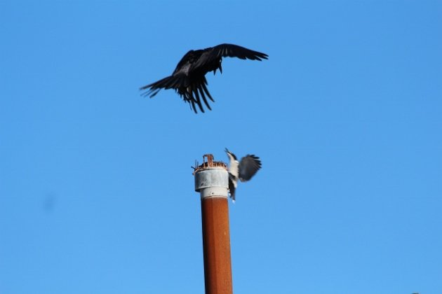 raven and butcherbird