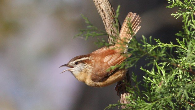 Carolina Wren - Durham Co, NC