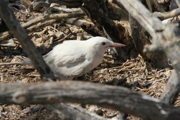 albino sooty tern