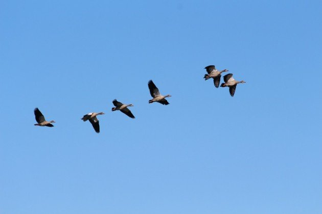 Egyptian geese flyover