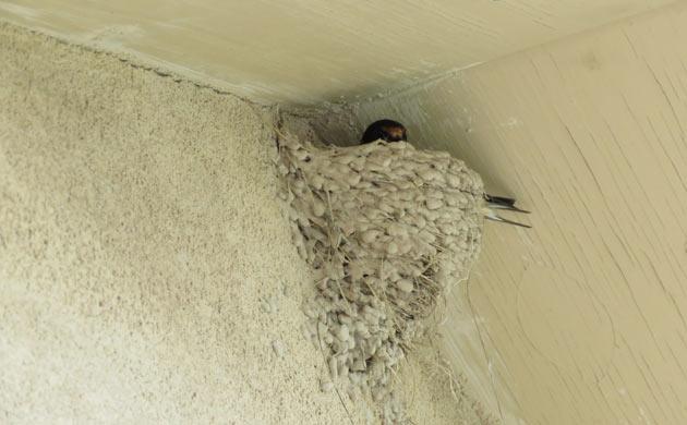 bars swallow nest