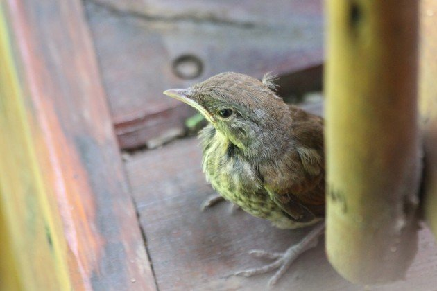 Palm-thrush fledgeling