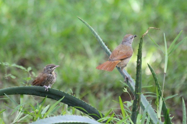 palm-thrush family