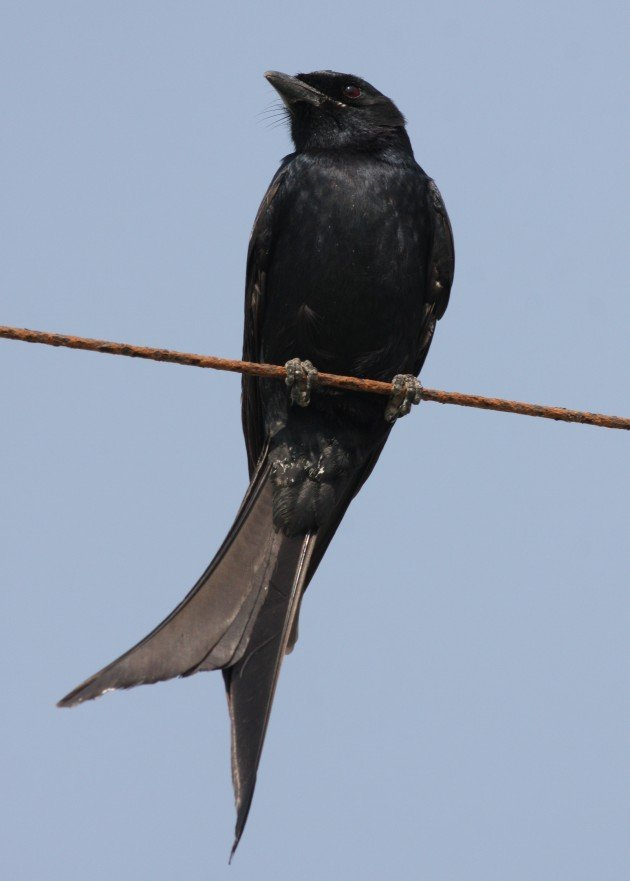 Black Drongo - Gujarat, India
