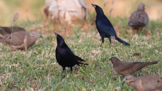 Shiny Cowbirds - Aruba