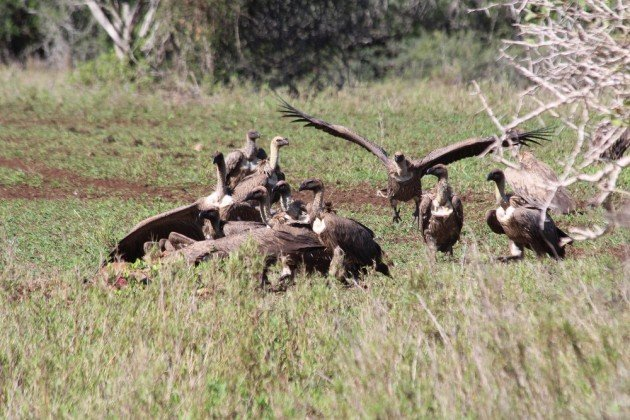 more vultures