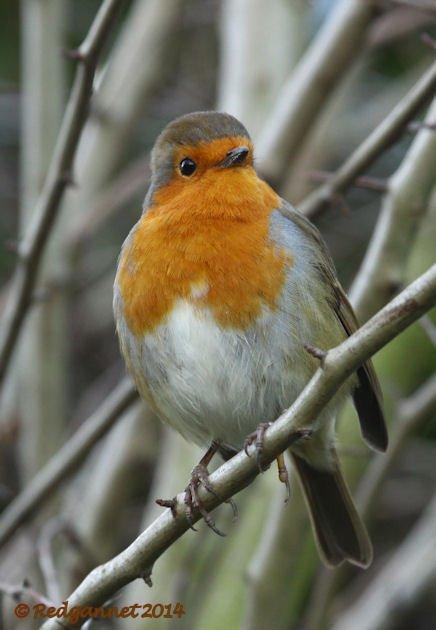 Otham's Robin
