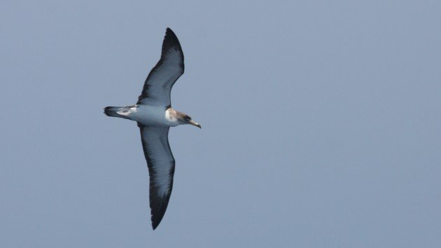 "Cory's ""borealis"" Shearwater, off Hatteras, NC"