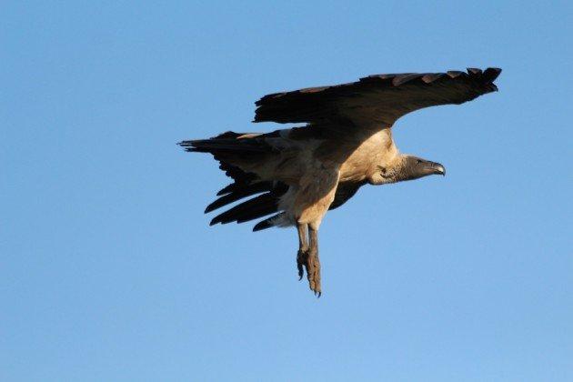 vulture landing gear