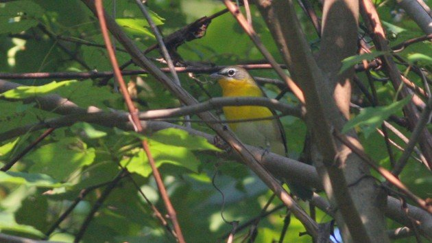 Yellow-breasted Chat - Greensboro, NC