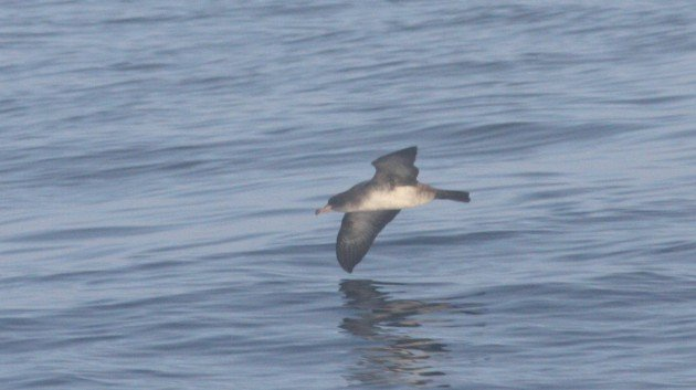 Pink-footed Shearwater - off San Diego, CA