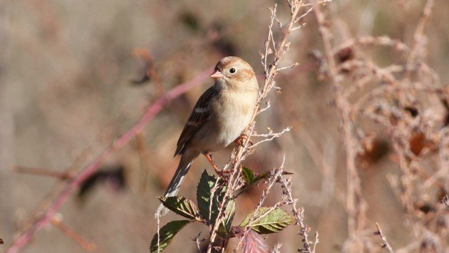 Field Sparrow - Guilford Co, NC