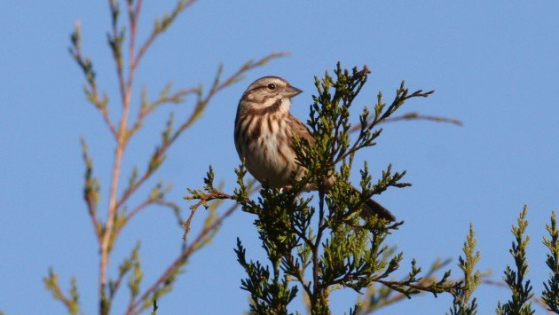 Song Sparrow - Guilford Co, NC