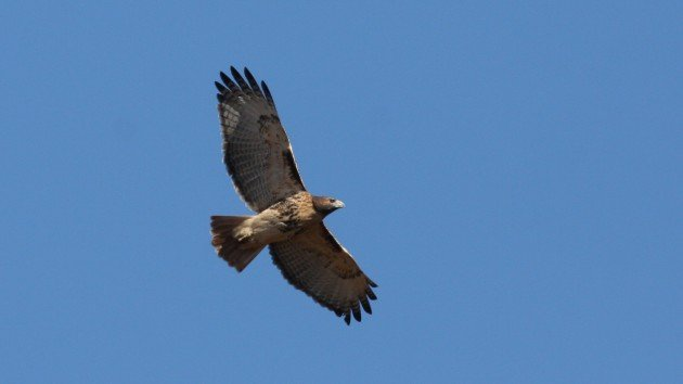 Red-tailed Hawk - Guilford Co, NC