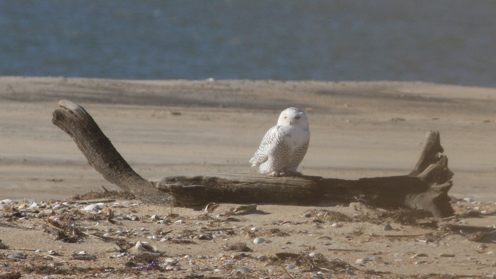 Snowy Owl in North Carolina by Nathan Swick