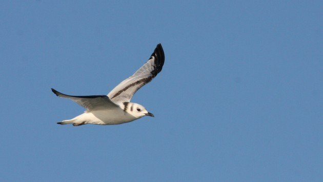 Black-legged Kittiwake, off Hatteras, NC