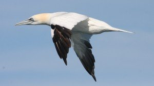Northern Gannet, off Hatteras, NC
