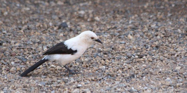 Southern Pied Babblers