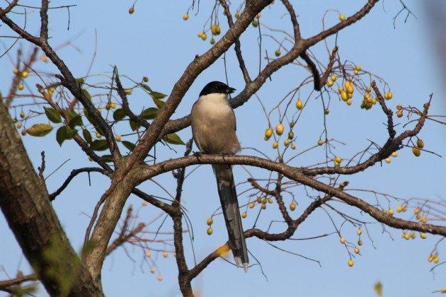 azurewinged magpie