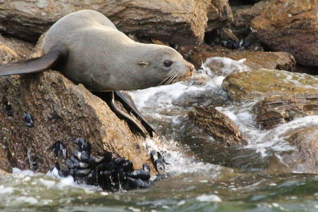 New Zealand Fur-seal