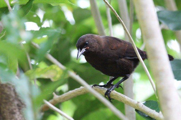 jackbird