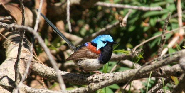 Variagated Fairy-wren