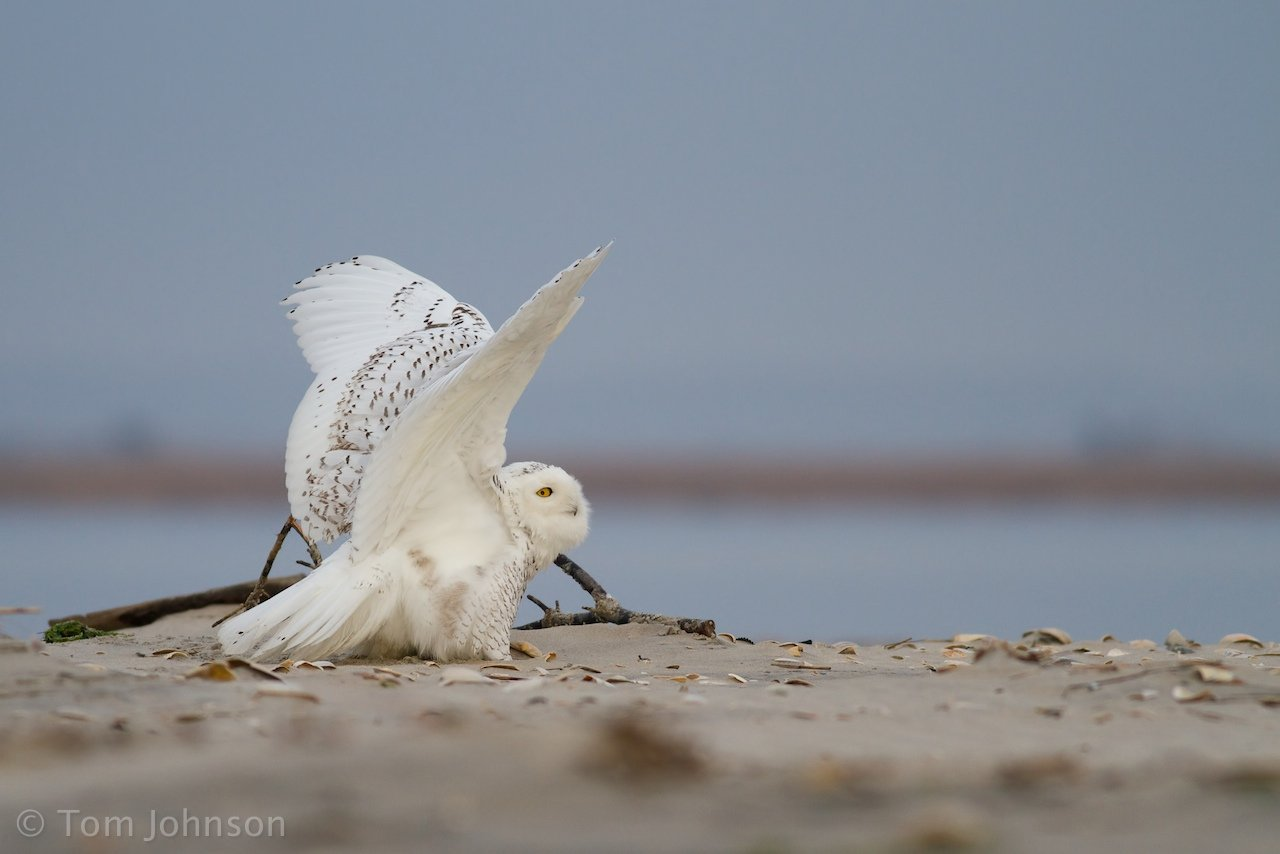 Snowy Owl on defense by Tom Johnson