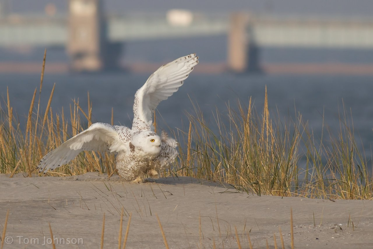 Snowy Owl defending itself by Tom Johnson