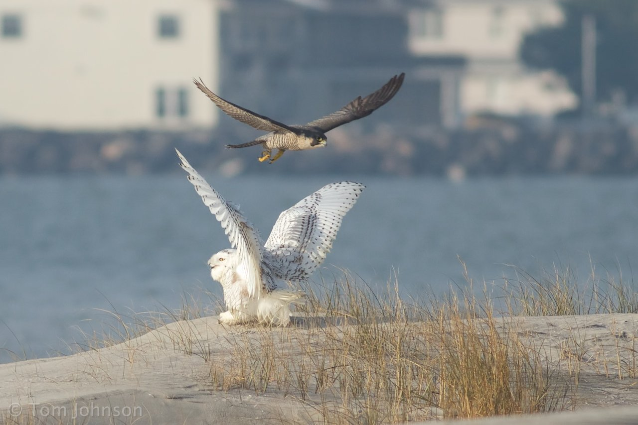Peregrine Falcon dive-bombing a Snowy Owl by Tom Johnson