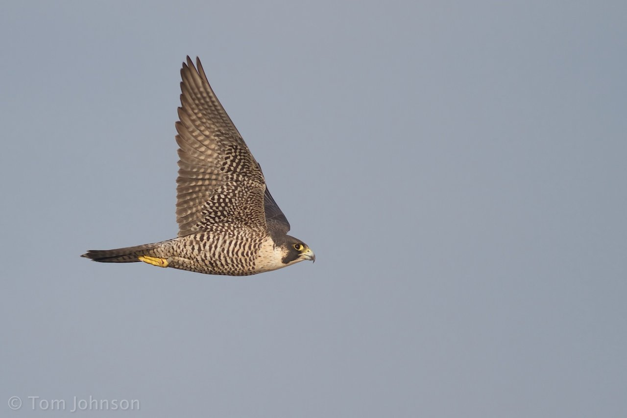 Peregrine Falcon by Tom Johnson