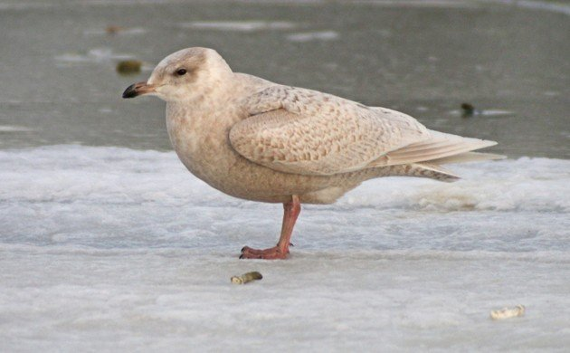 Iceland Gull at Baisley Pond Park