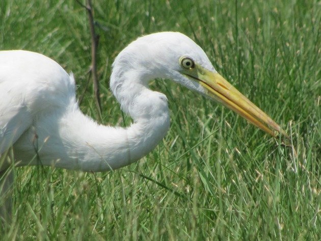 Intermediate Egret (3)