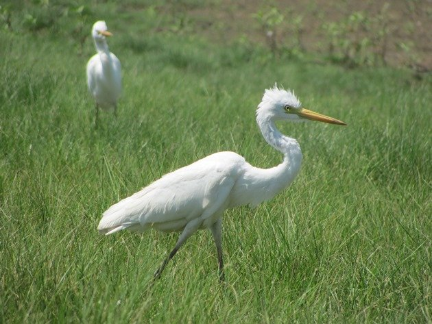 Intermediate Egret (4)