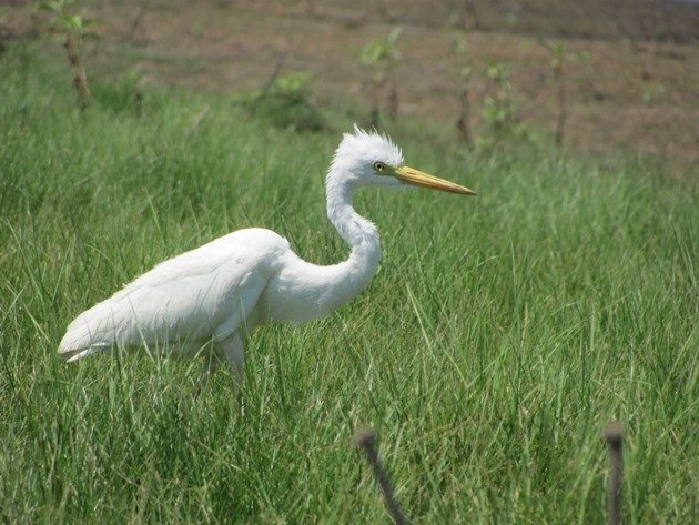 Intermediate Egret (5)