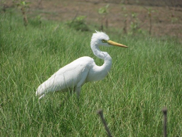 Intermediate Egret (6)