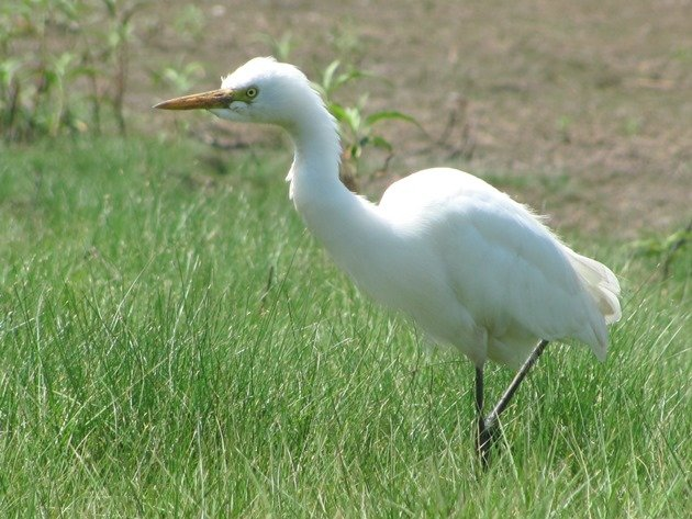 Intermediate Egret (8)