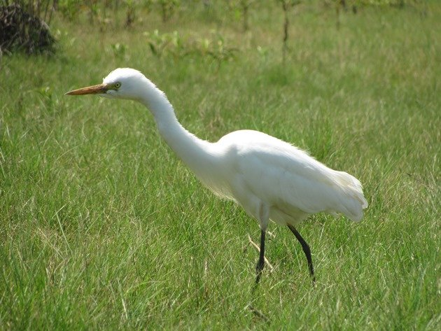 Intermediate Egret (9)