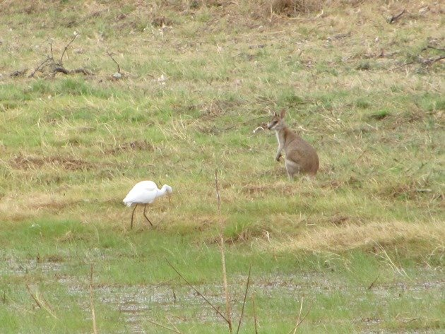Intermediate Egret and Agile Wallaby
