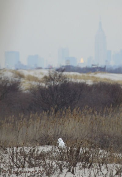 JFK 14Feb12 Snowy Owl 02