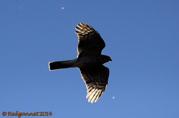 JFK 19Oct14 Sharp-shinned Hawk 01