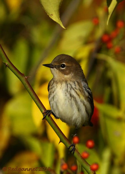 JFK 19Oct14 Yellow-rumped Warbler 09