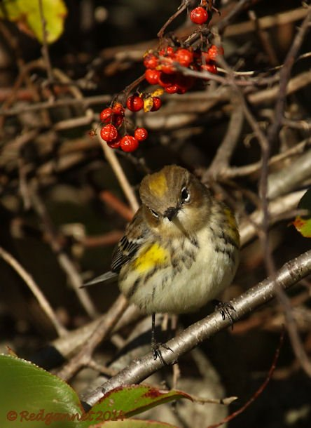 JFK 19Oct14 Yellow-rumped Warbler 12