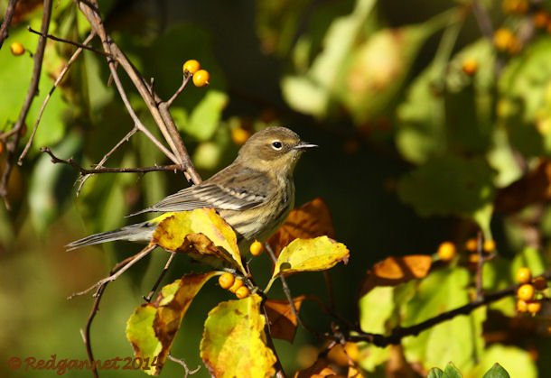 JFK 19Oct14 Yellow-rumped Warbler 13