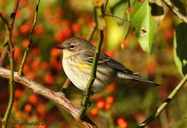 JFK 19Oct14 Yellow-rumped Warbler 16