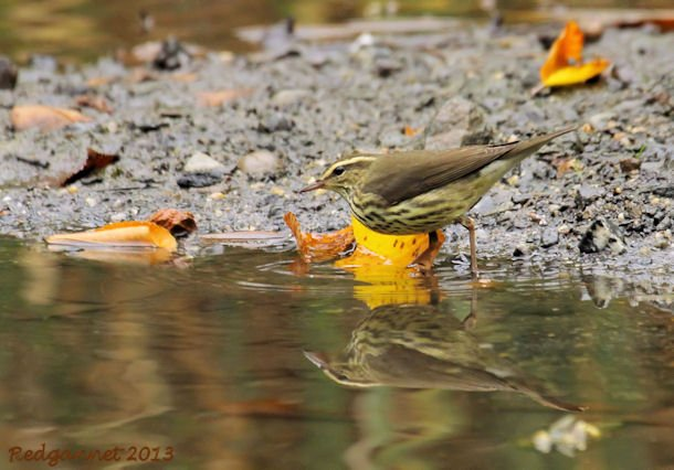 JFK07Oct13 Northern Waterthrush 01