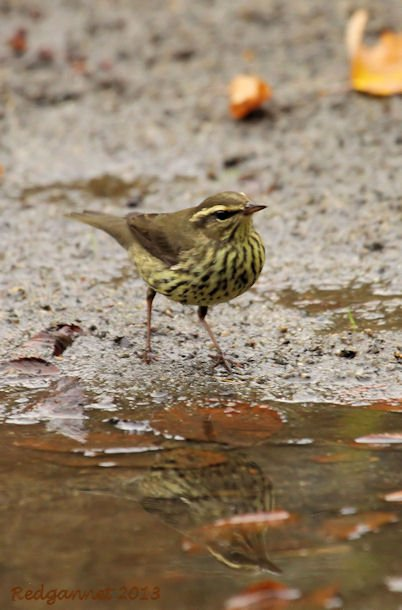 JFK07Oct13 Northern Waterthrush 03