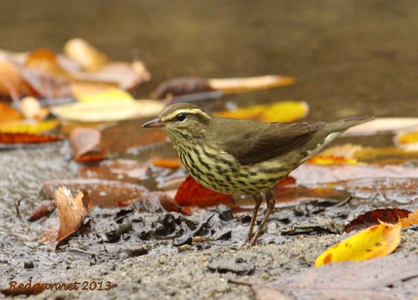 JFK07Oct13 Northern Waterthrush 04