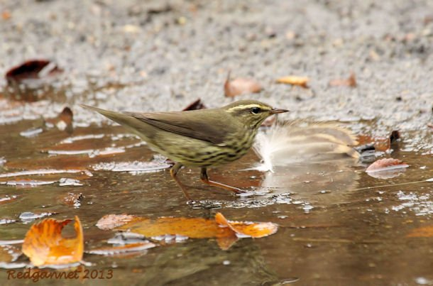JFK07Oct13 Northern Waterthrush 06